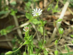Image of greater chickweed