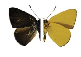 Image of <i>Philiris hypoxantha</i> (Röber 1926)