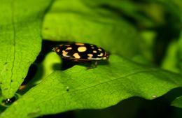 Image of Sunburst Diving Beetle