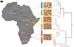 Map of giraffes and okapis