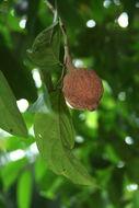 Image of hydnocarpus