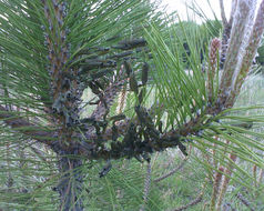 Image of European pine sawfly