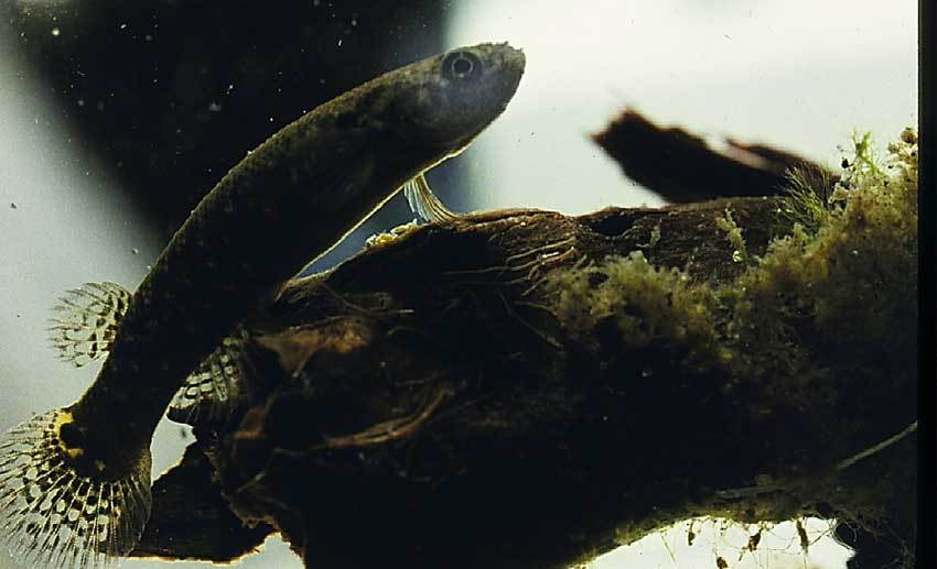 Image of Mangrove Rivulus