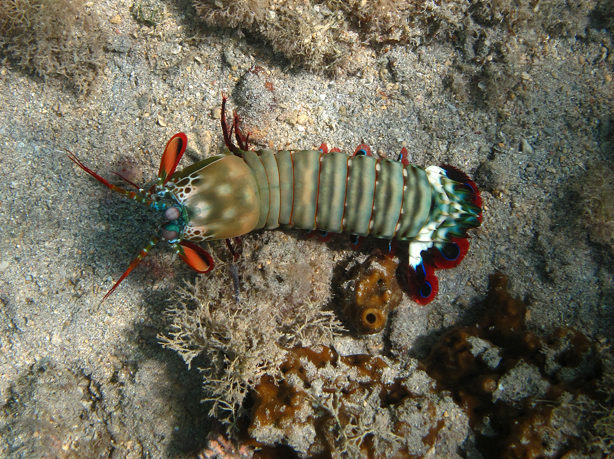 Image of Mantis shrimp