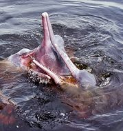 Image of Amazon River Dolphin