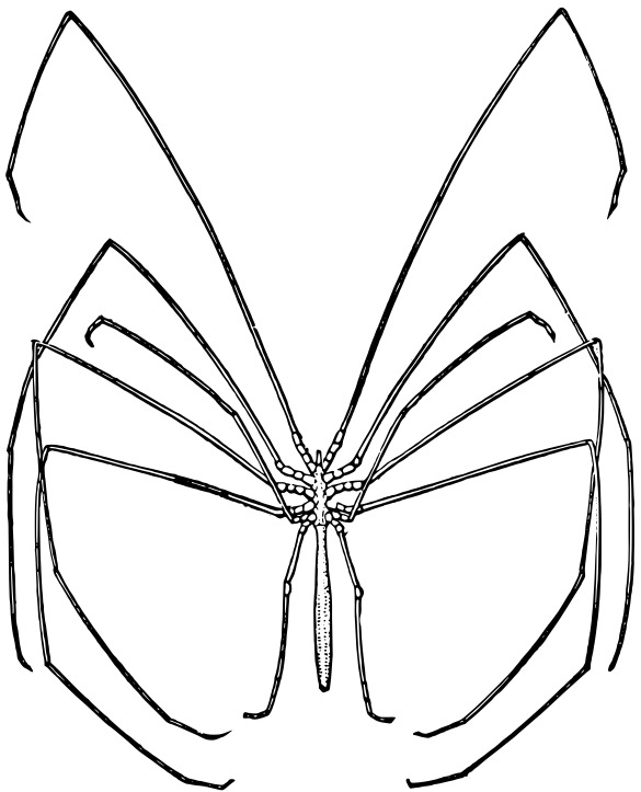 Image of Colossendeidae
