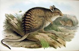 Image of Banded hare-wallaby