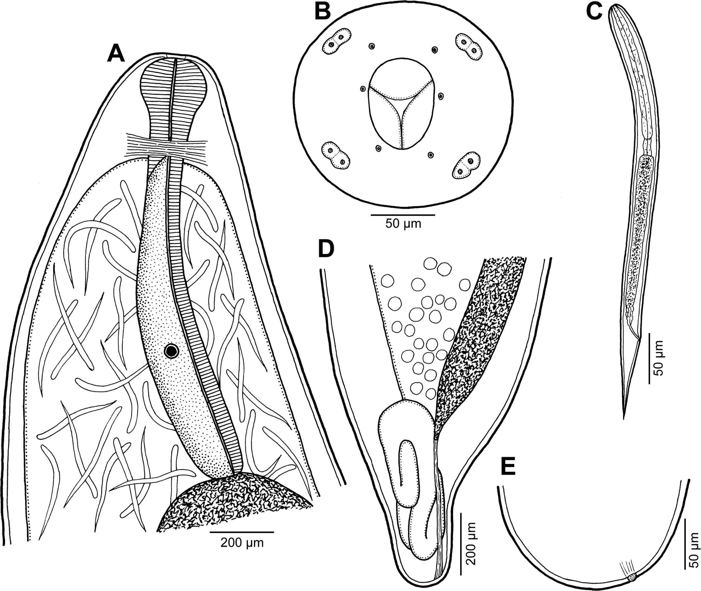 Image of <i>Philometra fasciati</i> Moravec & Justine 2008