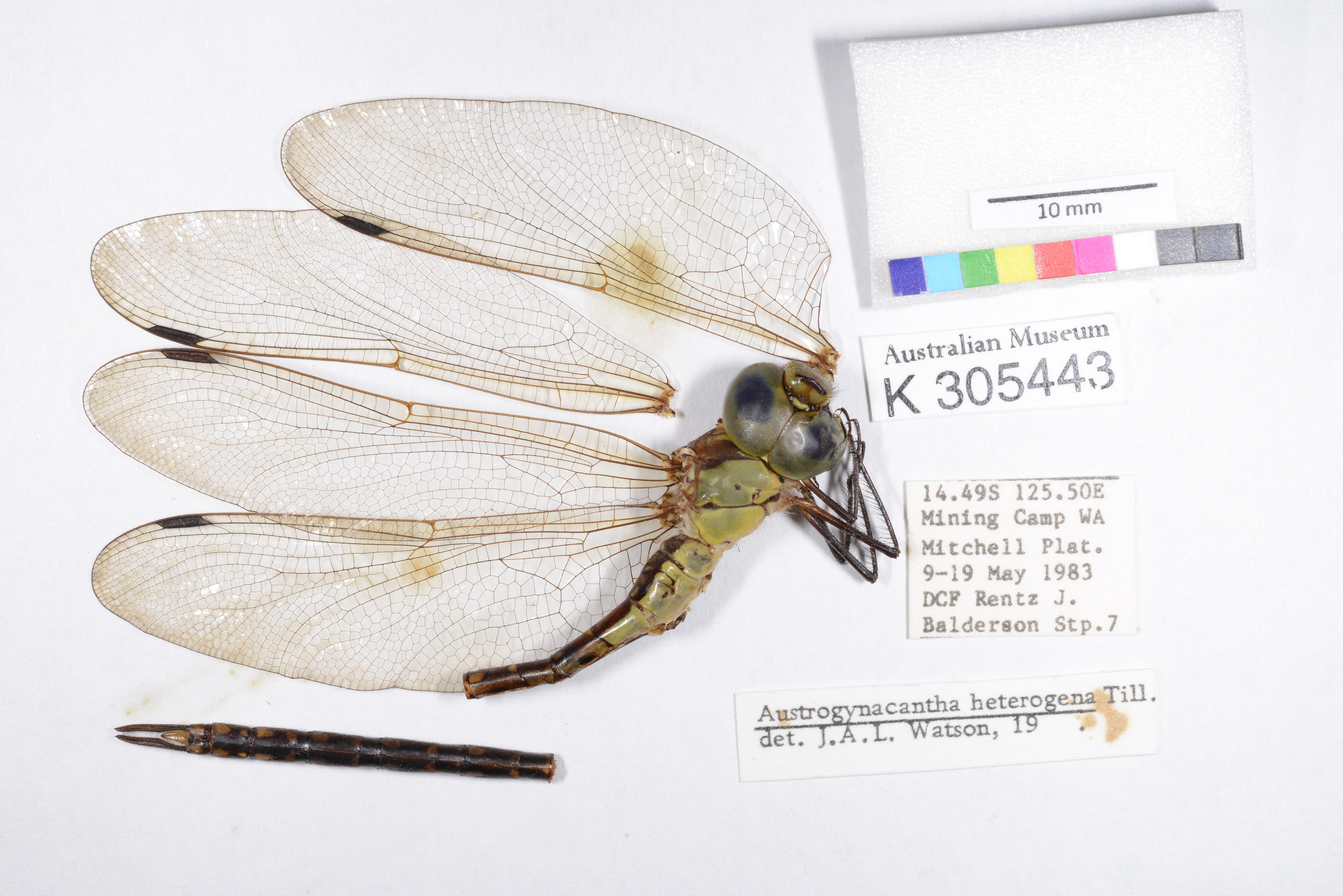 Image of <i>Austrogynacantha heterogena</i> Tillyard 1908