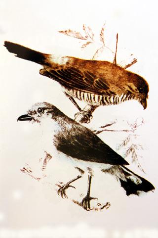 Image of Reunion Cuckooshrike