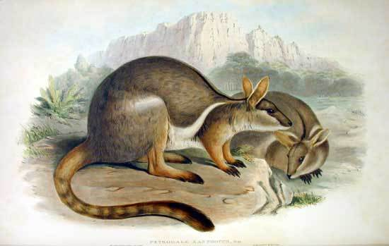 Image of Ring-tailed Rock Wallaby