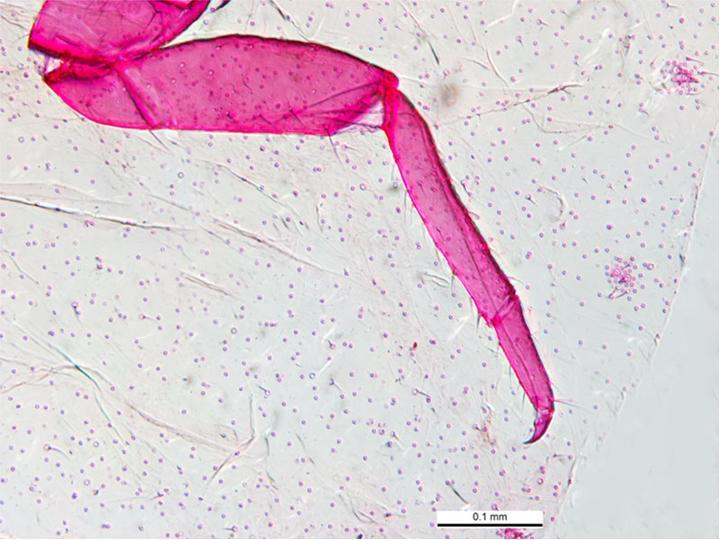 Image of Mealybug