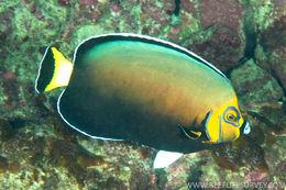 Image of Chaetodontoplus