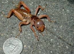 Image of Jerusalem Cricket
