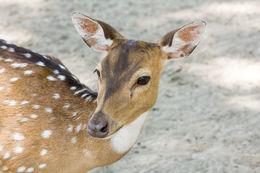 Image of Javan Deer