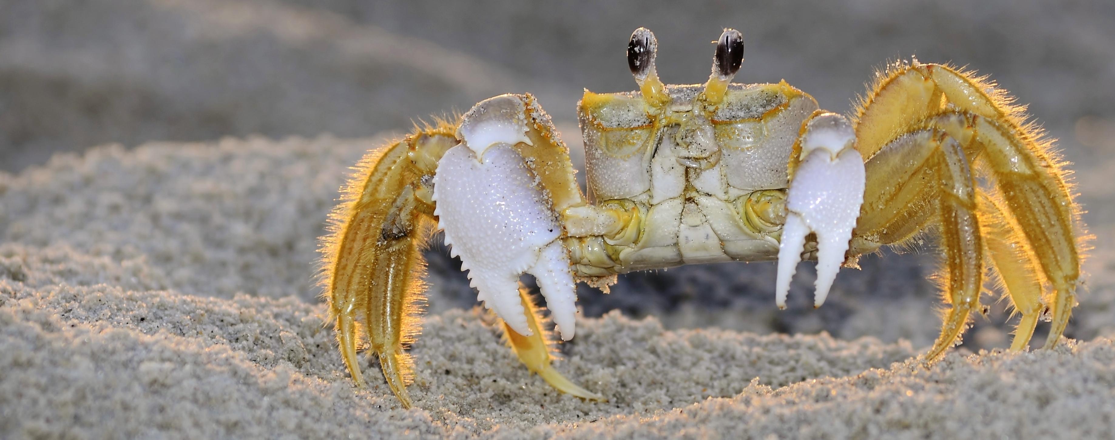 Image of Ocypodidae