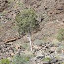 Image of Shepherd's tree