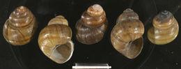 Image of <i>Viviparus acerosus</i> (Bourguignat 1862)