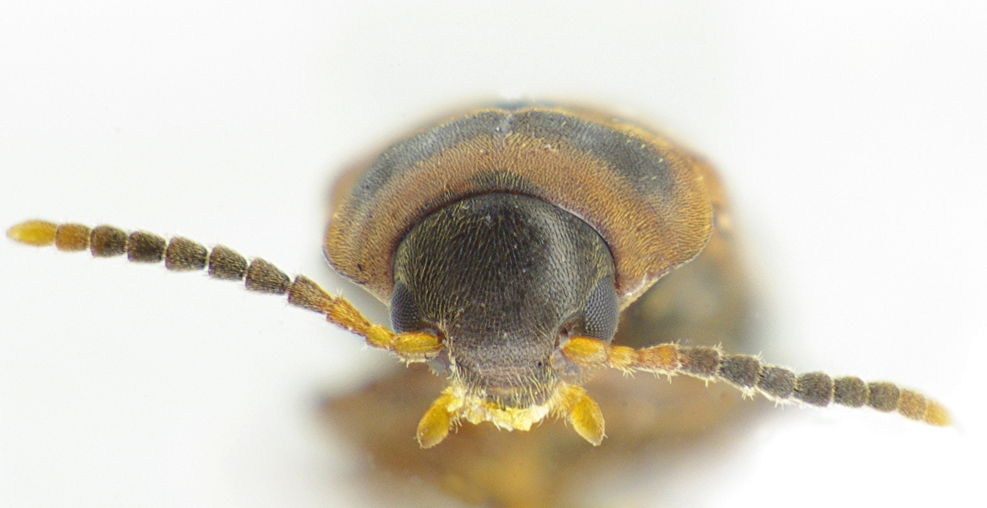 Image of <i>Abdera flexuosa</i> (Paykull 1799) Paykull 1799