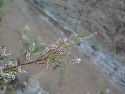 Image of <i>Tamarix usneoides</i> E. Mey.