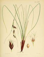 Image of bog-rush