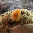 Image of Galeommatoidea