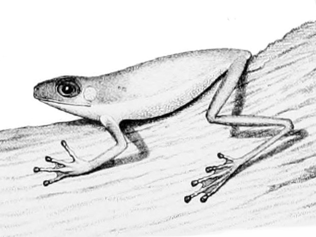 Image of Costa Rica Brook Frog