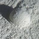 Image of <i>Gromia sphaerica</i>