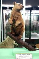 Image of Doria's Tree-kangaroo