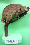 Image of Rock Possum
