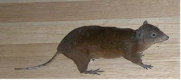 Image of Musky Rat Kangaroo