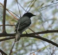 Image of Black-headed cuckooshrike