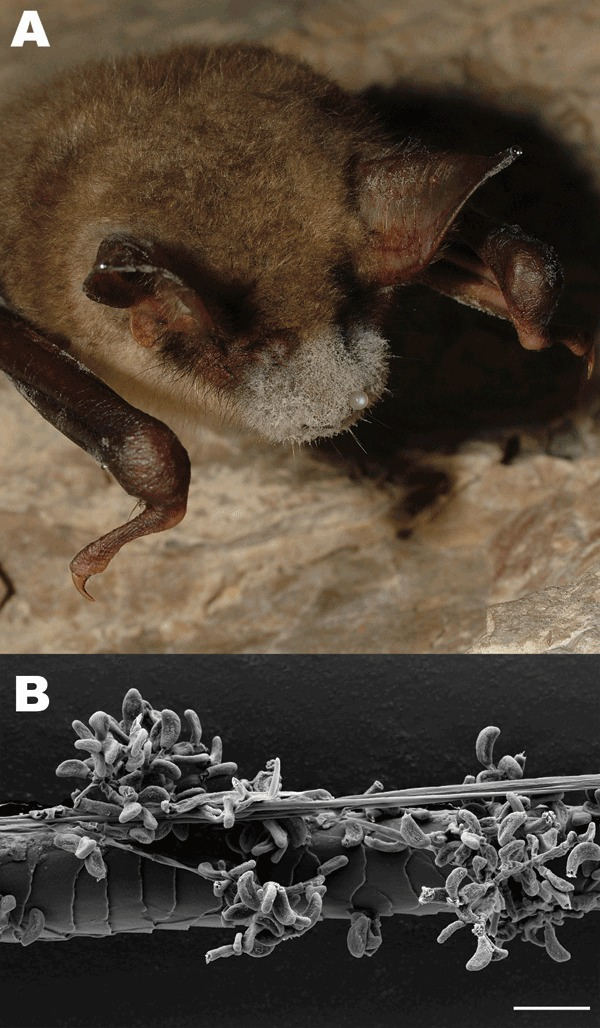 Image of White nose syndrome