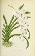 Image of Foxtail orchid
