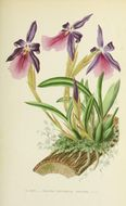Image of <i>Miltonia moreliana</i> A. Rich.