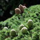 Image of Cedar of Lebanon