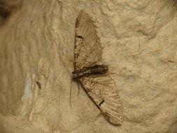Image of <i>Eupithecia insigniata</i> Hübner 1792