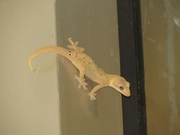 Image of Mourning Gecko