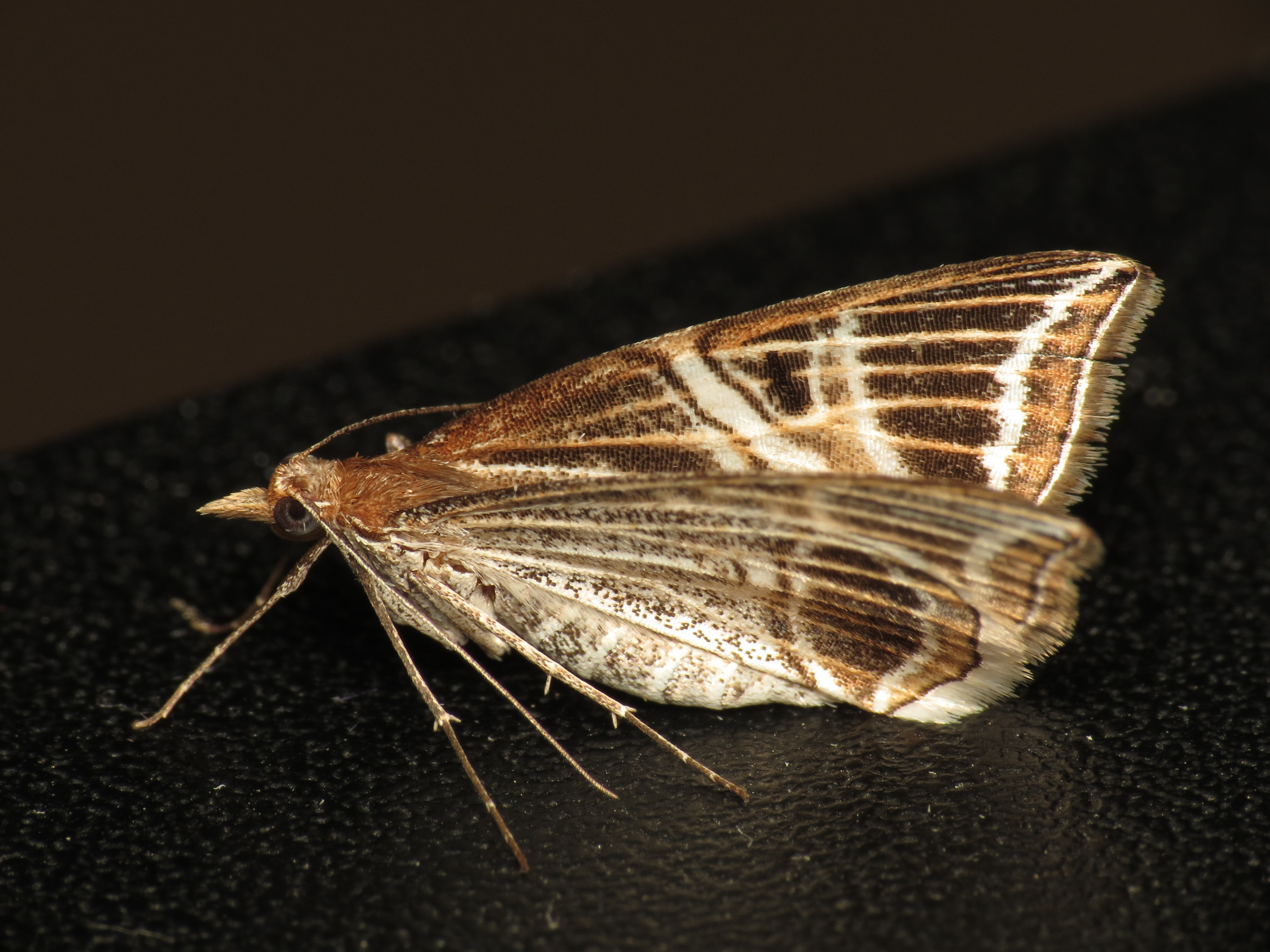 Image of <i>Phrataria transcissata</i> Walker 1862
