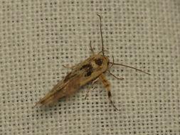 Image of <i>Stathmopoda melanochra</i> Meyrick 1897