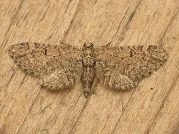 Image of <i>Eupithecia ultimaria</i> Boisduval 1840