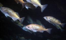 Image of Widow rockfish