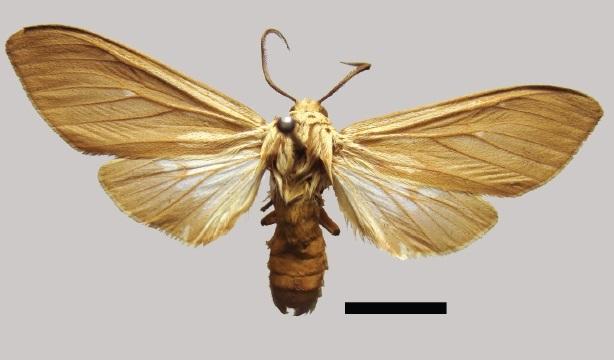 Image of <i>Hypocrisias fuscipennis</i>