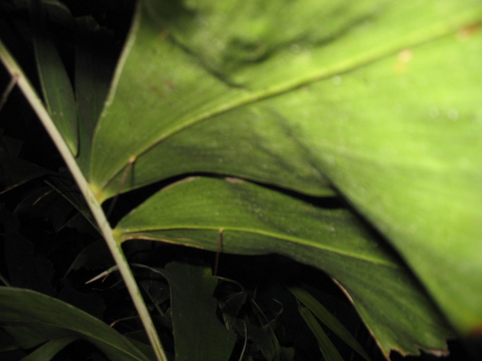 Image of <i>Aiphanes horrida</i> (Jacq.) Burret