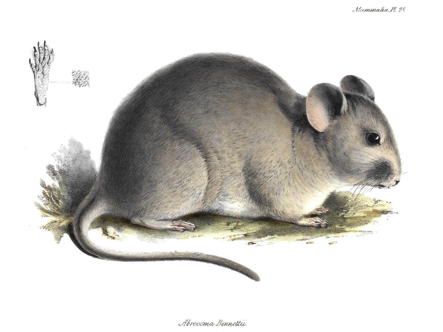Image of Bennett's Chinchilla Rat
