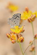 Image of False Baton Blue