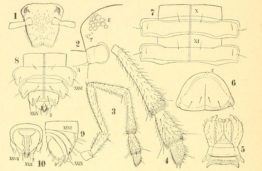 Image of Chordeumatida