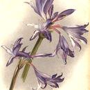Image of <i>Griffinia hyacinthina</i> (Ker Gawl.) Ker Gawl.