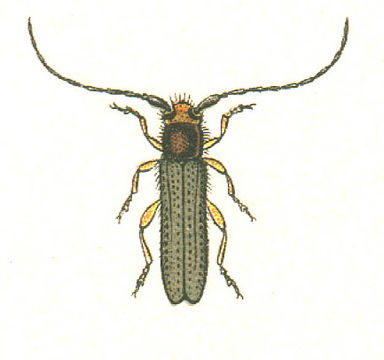 Image of Leafy Spurge Stem Boring Beetle