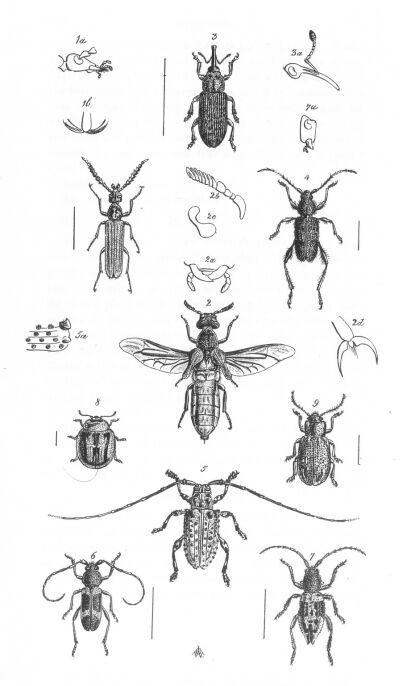 Image of <i>Microtragus senex</i> White 1846